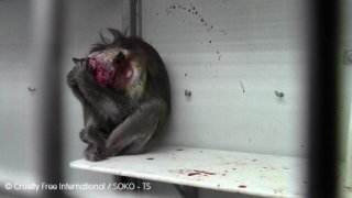 Monkey with infected wound